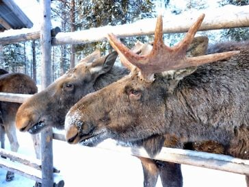 Da lachen doch die Elche - Elchpark in Lappland