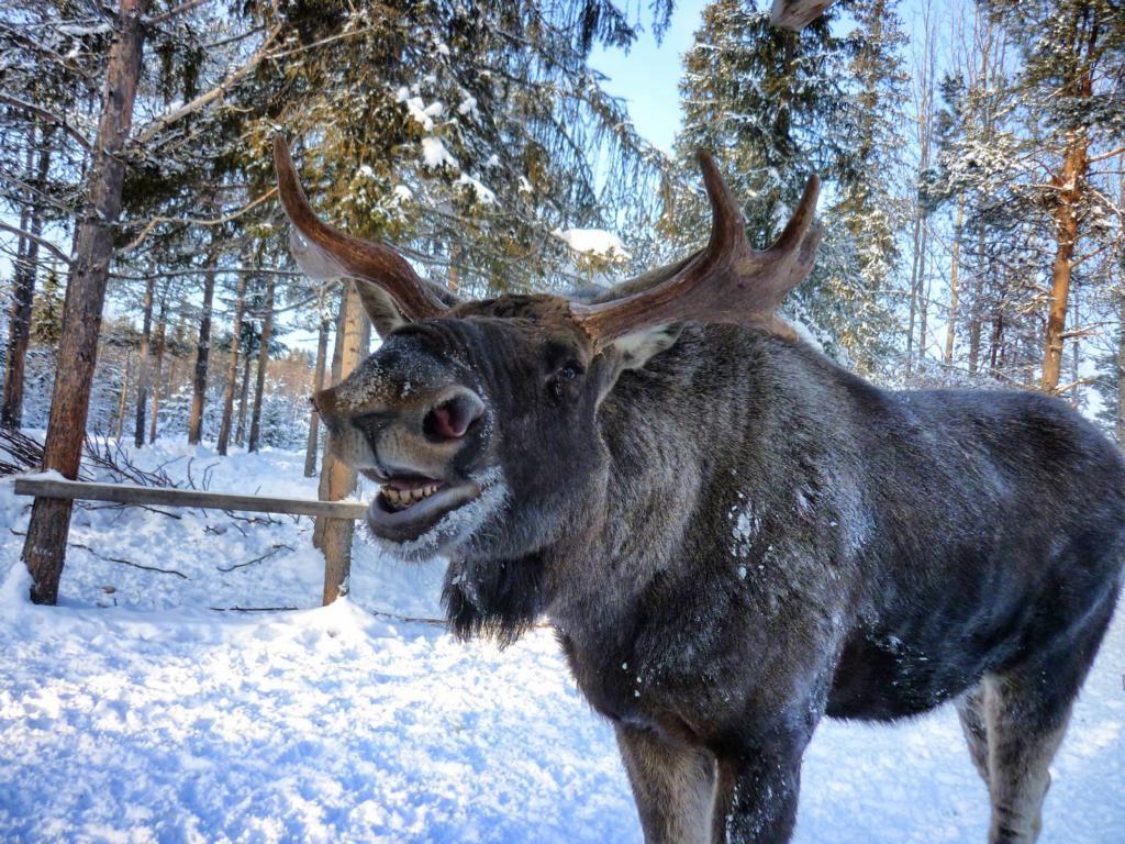Grinsender Elch im Elchpark in Lappland