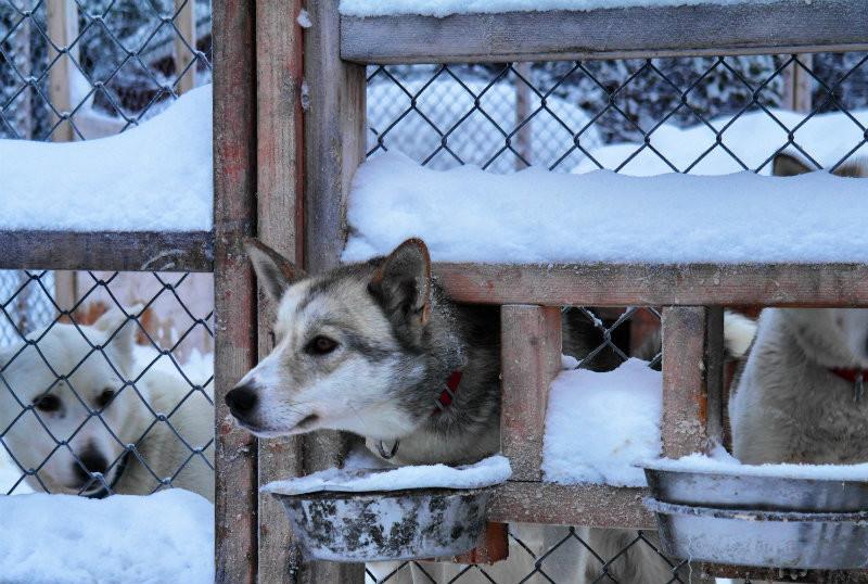 Hundeschlittentour in Lappland (1)
