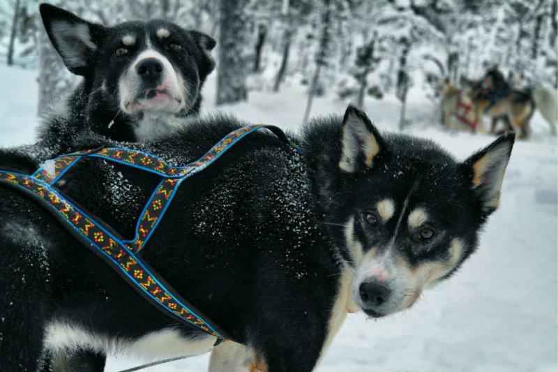 Hundeschlittentour in Lappland (16)