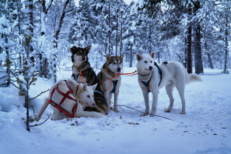 Hundeschlittentour in Lappland (17)