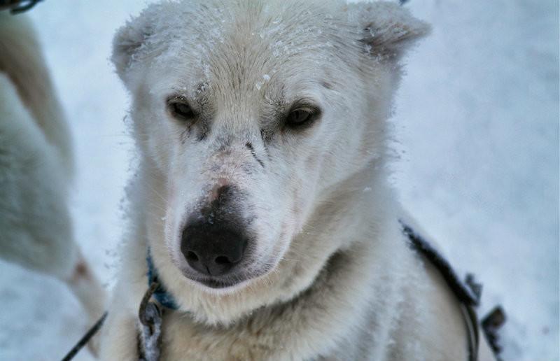 Hundeschlittentour in Lappland (19)