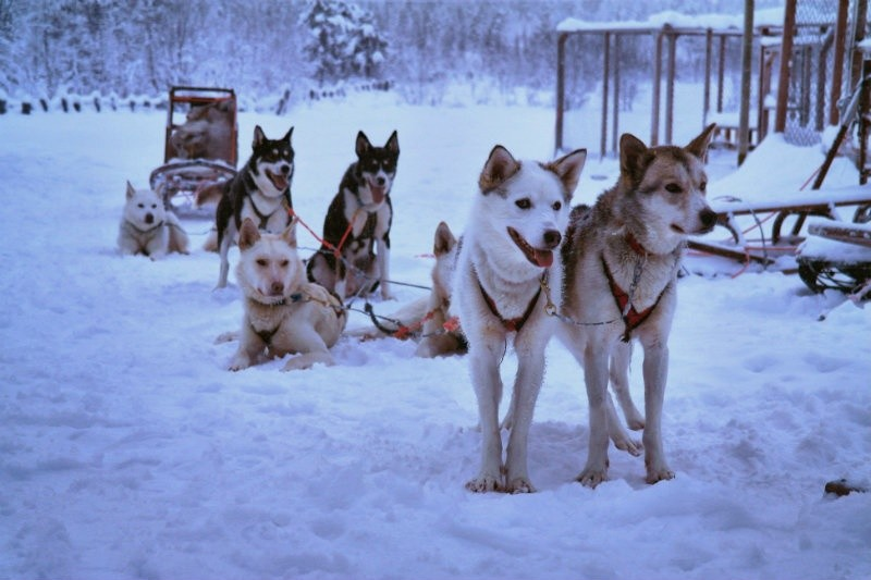 Hundeschlittentour in Lappland (27)_