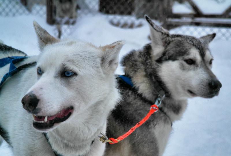 Hundeschlittentour in Lappland (3)