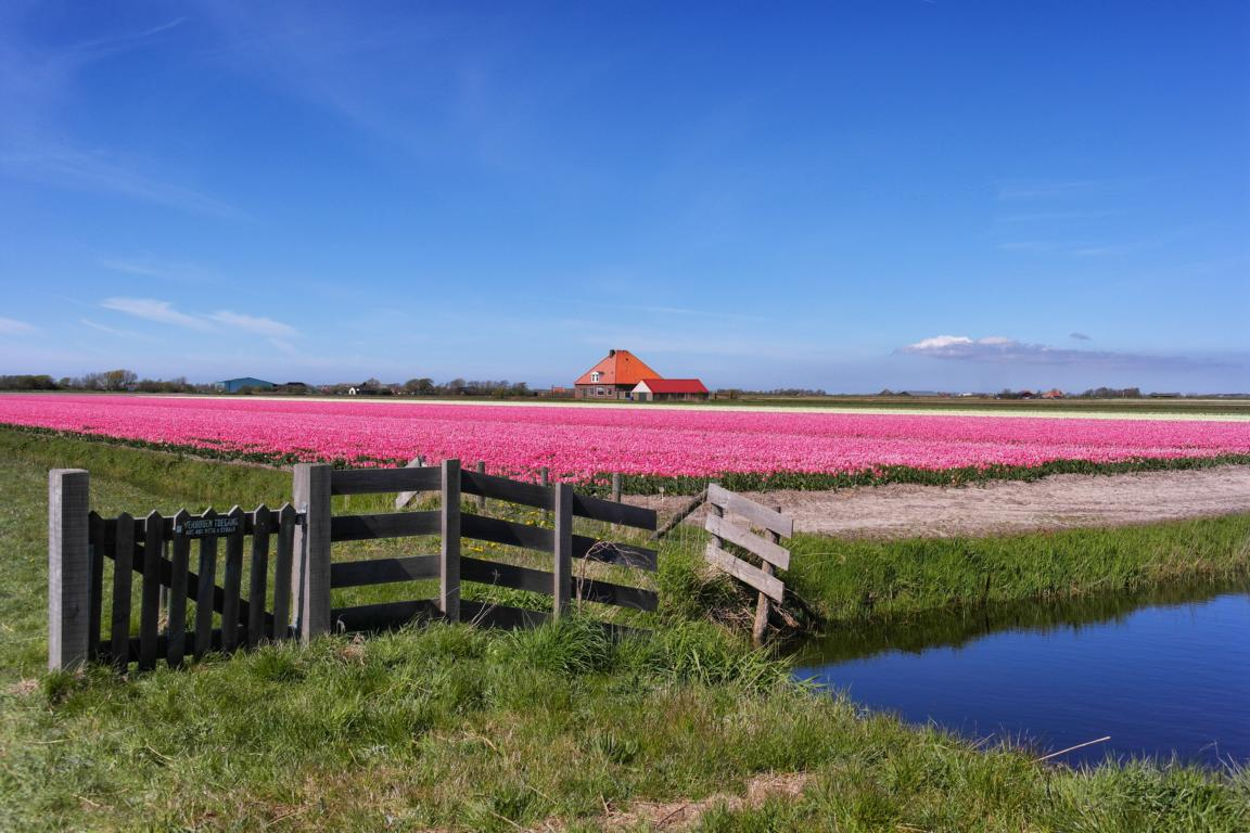 Tulpenblüte in Holland erleben - Bloeiend Zijpe