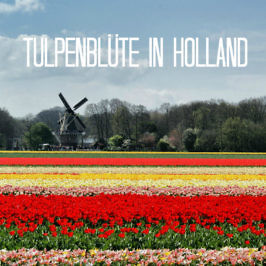 Frühlingszauber: 8x Tulpenblüte in Holland erleben