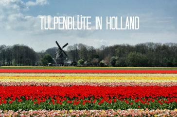 Tulpenblüte in Holland erleben