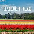 Frühlingszauber: Tipps zur Tulpenblüte in Holland