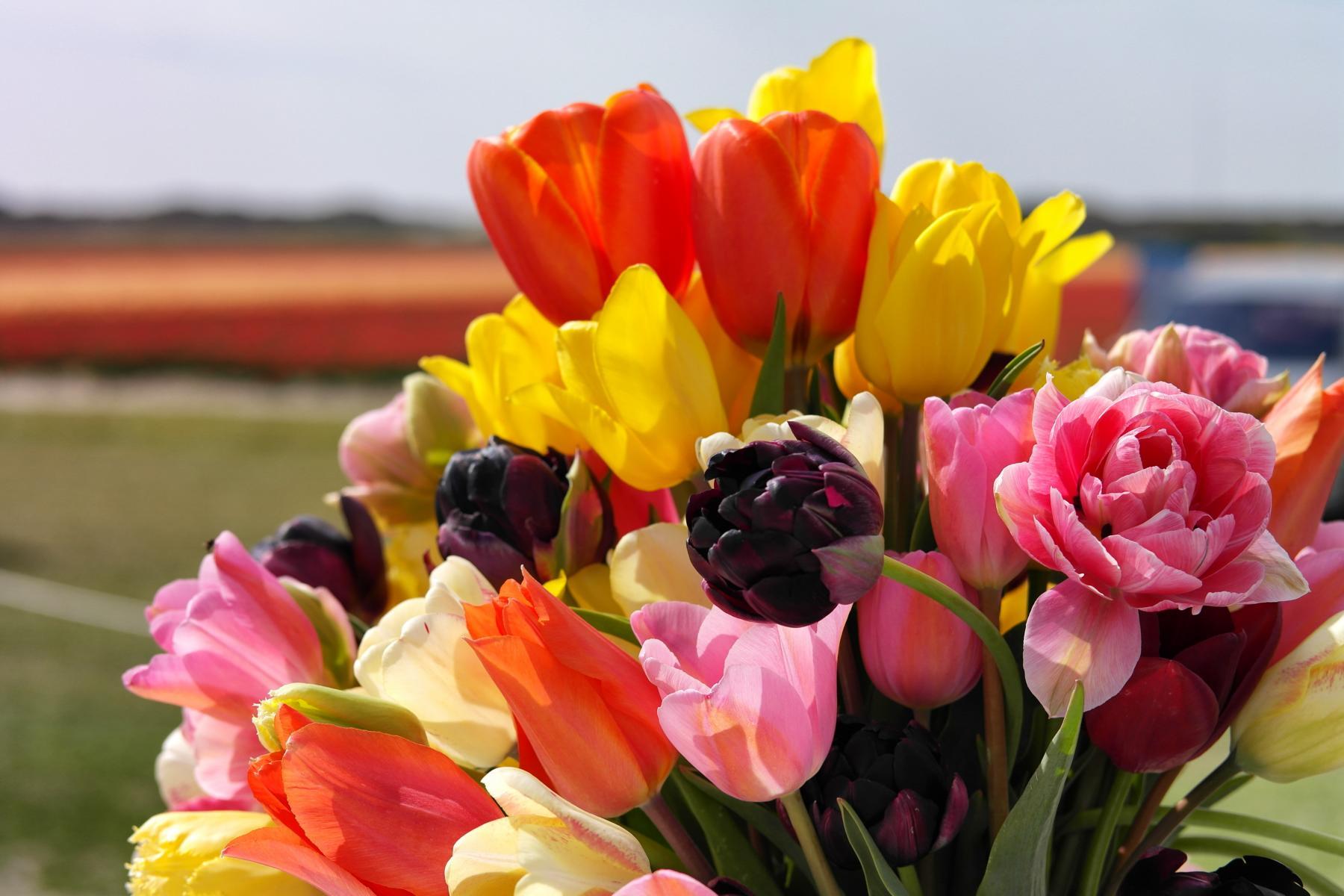 Tulpenblüte in Holland - Bloeiend Zijpe