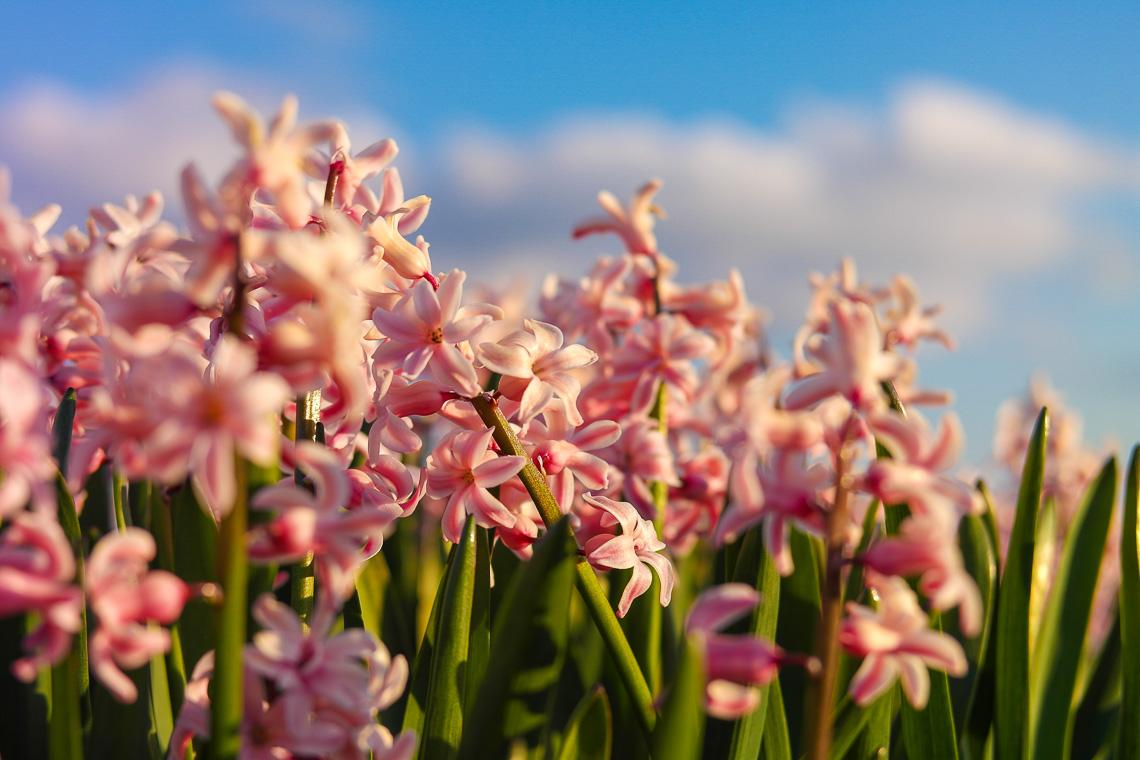 Tulpenblüte in Holland - Hyazinthen