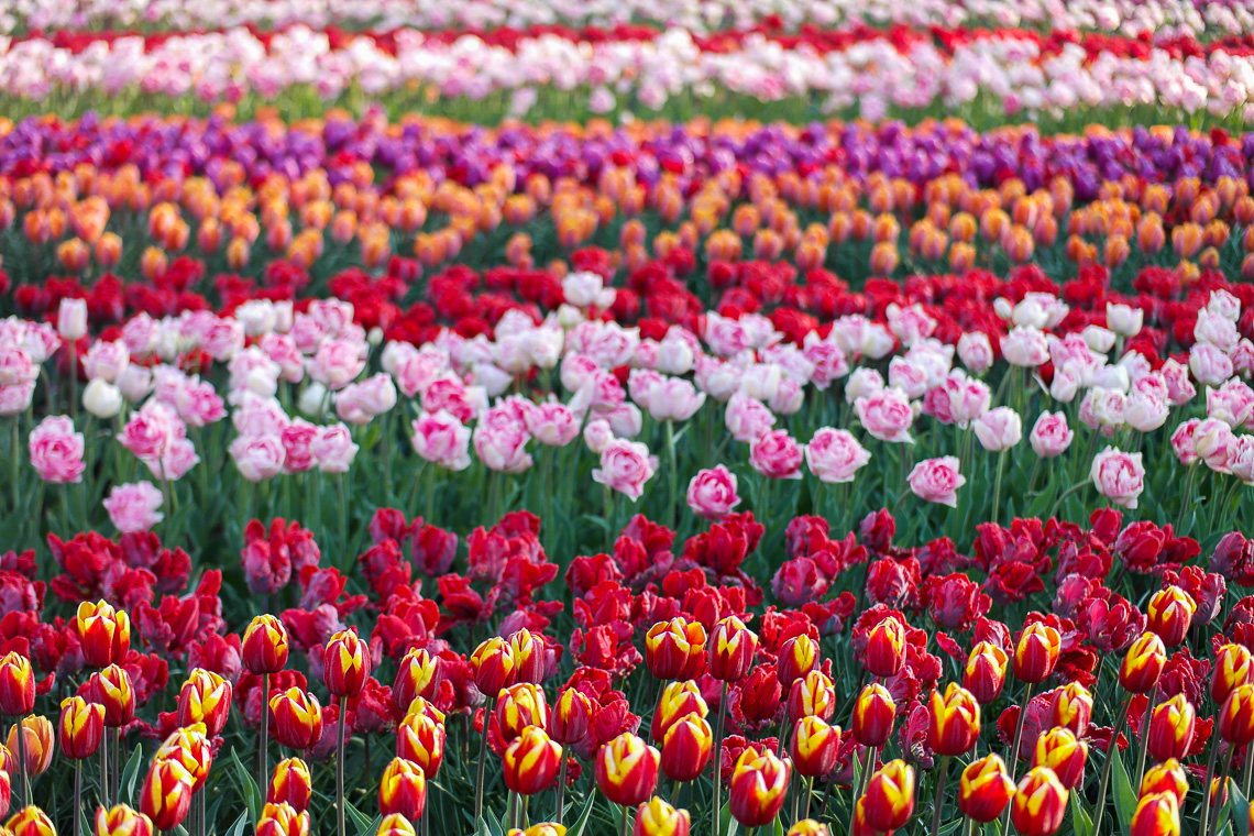 Tulpenblüte in Holland - Keukenhof
