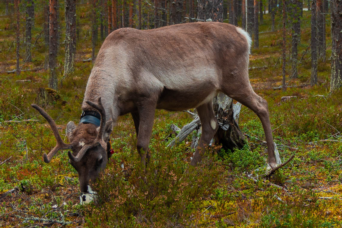 Indian Summer in Lappland - Aktivurlaub im herbstlichen Lappland - Rentier