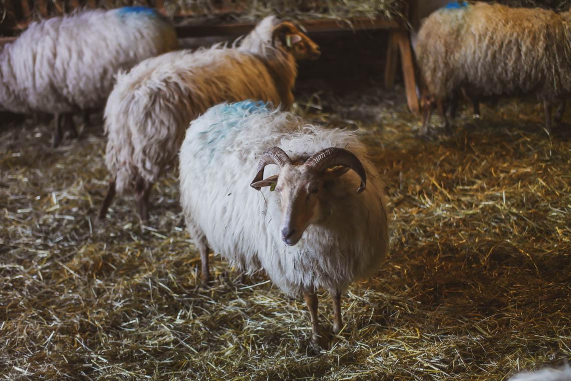 Schafe im Schapenkooi